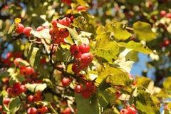 Rote kleine Äpfel auf dem Baum Stockbilder