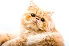 Rote kleine Katze auf dem lokalisierten Hintergrund Stockfotografie