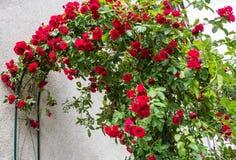 Rote kletternde Rosen Lizenzfreie Stockbilder
