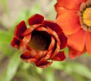 Rote Knospe der Blume Stockfotos
