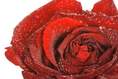 Rote Knospe der Makro Rose mit Wasser Stockbilder