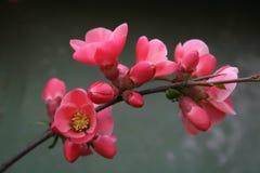 Rote Knospen und Blumen Lizenzfreie Stockbilder