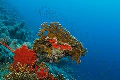Rote Koralle Stockbilder