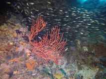 Rote Koralle Stockfotografie
