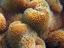 Rote Korallen-Leder Stockfoto