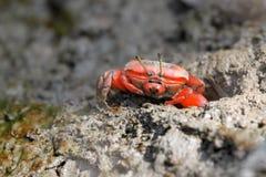 Rote Krabbe Lizenzfreie Stockbilder