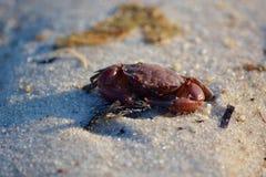 Rote Krabbe auf Sandy Beach Lizenzfreie Stockfotografie