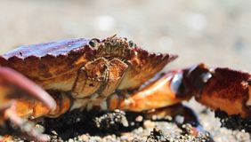 Rote Krabbe auf Strand Lizenzfreie Stockfotos