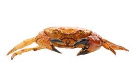 Rote Krabbe der Meeresfrüchte lokalisiert auf einem weißen Hintergrund Stockfoto