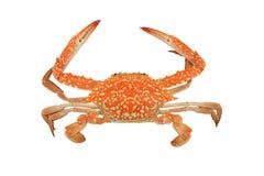 Rote Krabbe lokalisiert auf weißem Hintergrund Lizenzfreies Stockbild