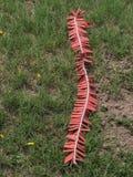 Rote Kracher gesetzt auf Gras Lizenzfreie Stockfotografie