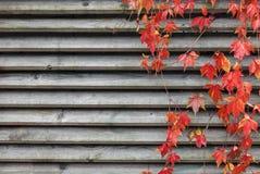 Rote Kriechpflanze lizenzfreie stockfotos