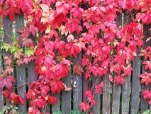 Rote Kriechpflanze stockfoto