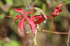Rote Kriechpflanze Stockbild