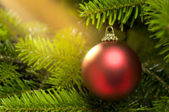 Rote Kugel in einem realen Weihnachtsbaum Stockfoto