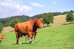 Rote Kuh Lizenzfreie Stockfotos