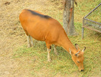 Rote Kuh Stockbild