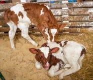 Rote Kuh calfs sind am Stall am Bauernhof Lizenzfreie Stockfotos