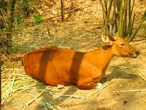 Rote Kuh, die Kamera betrachtet Stockfoto