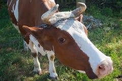 Rote Kuh in einer Weide im Sommer Lizenzfreie Stockfotos