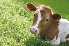 Rote Kuh ist in einem Gras Stockfoto