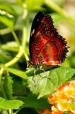 Rote Lacewing Basisrecheneinheit, Cethosia biblis Stockfotografie
