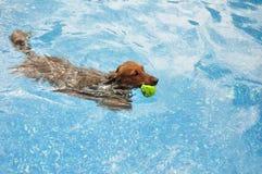 Rote langhaarige Dachshund-Schwimmen Lizenzfreie Stockbilder
