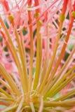 Rote Lauchblume Lizenzfreie Stockbilder
