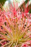 Rote Lauchblume Stockbild