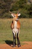 Rote Lechwe Antilope Lizenzfreies Stockbild