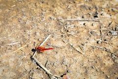 Rote Libelle über dem Boden Stockbild