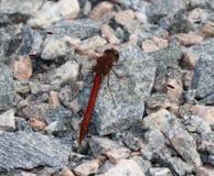 Rote Libelle Lizenzfreies Stockfoto