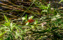 Rote Libelle Lizenzfreie Stockbilder
