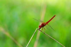 Rote Libelle Lizenzfreies Stockbild