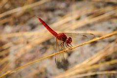 Rote Libelle am Arbeiten stockfotografie