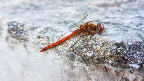 Rote Libelle, die auf dem konkreten Portal mit grünem Hintergrund stillsteht stockfotos