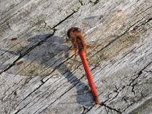 Rote Libelle, die auf Holz stillsteht lizenzfreie stockbilder