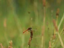Rote Libelle im Ruhezustand Lizenzfreie Stockbilder
