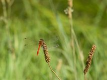 Rote Libelle im Ruhezustand Stockfotos