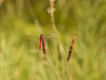 Rote Libelle im Ruhezustand Stockbild