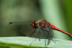Rote Libelle/Sympetrum-fonscolombii Stockfotografie