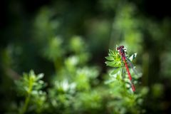 Rote Libelle während der Sommerzeit Lizenzfreie Stockfotografie