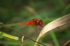 Rote Libelle während des Sommers/Sympetrum-fonscolombii Stockfotos