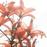 Rote Lilie auf dem weißen Hintergrund Stockbild