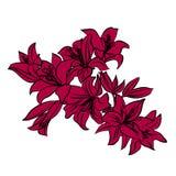 Rote Lilie auf weißem Hintergrund Stockbilder