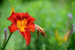 rote Lilien Stockfotografie