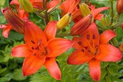 Rote Lilien Lizenzfreies Stockfoto
