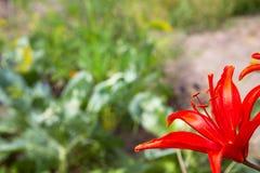 Rote Lilien auf einem unscharfen Hintergrund der Natur Lizenzfreies Stockfoto