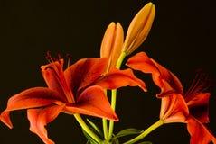 Rote Lilien auf schwarzem Hintergrund Stockfotografie