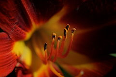 Rote Lilienblume Stockfoto